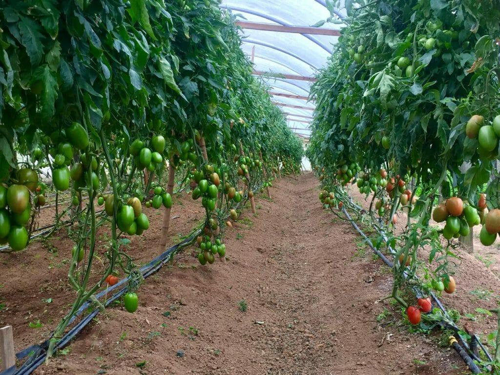 """Featured image for """"A diversidade se espalhou pelo mundo dos tomates"""""""