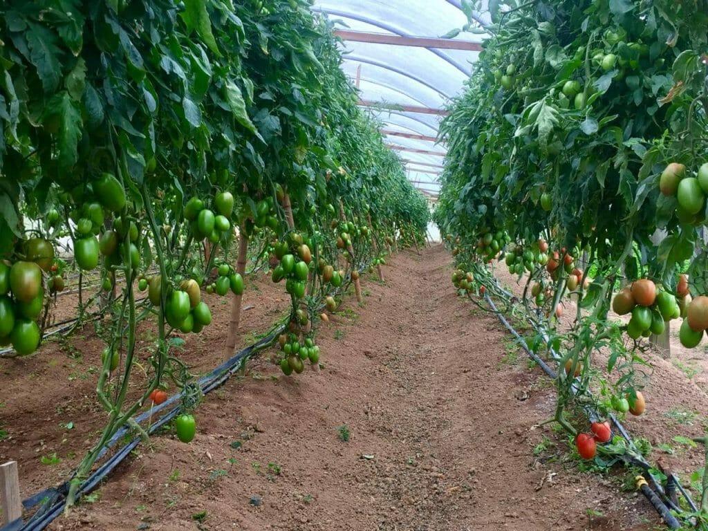 """Featured image for """"Plantação de Tomate Vero em estufa é destaque na imprensa nacional"""""""