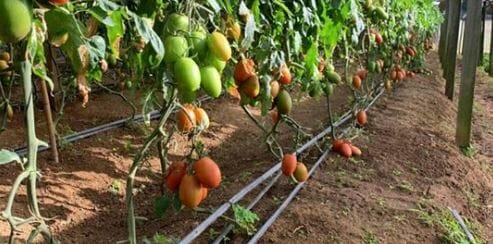 """Featured image for """"Tomate Vero pode ser cultivado em diversas formas de plantio"""""""