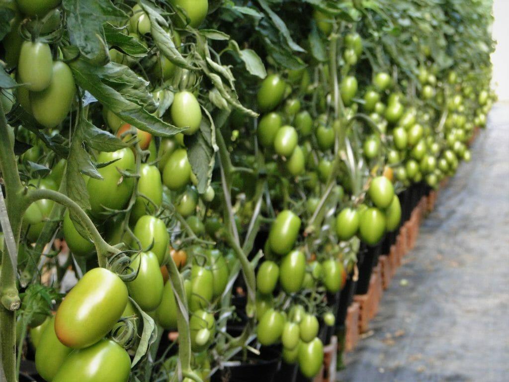 "Featured image for ""Produtores Tomate Vero"""
