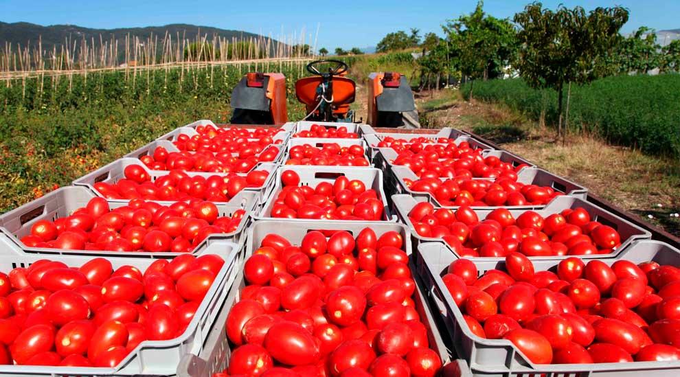 Beneficios-do-tomate-para-produtor