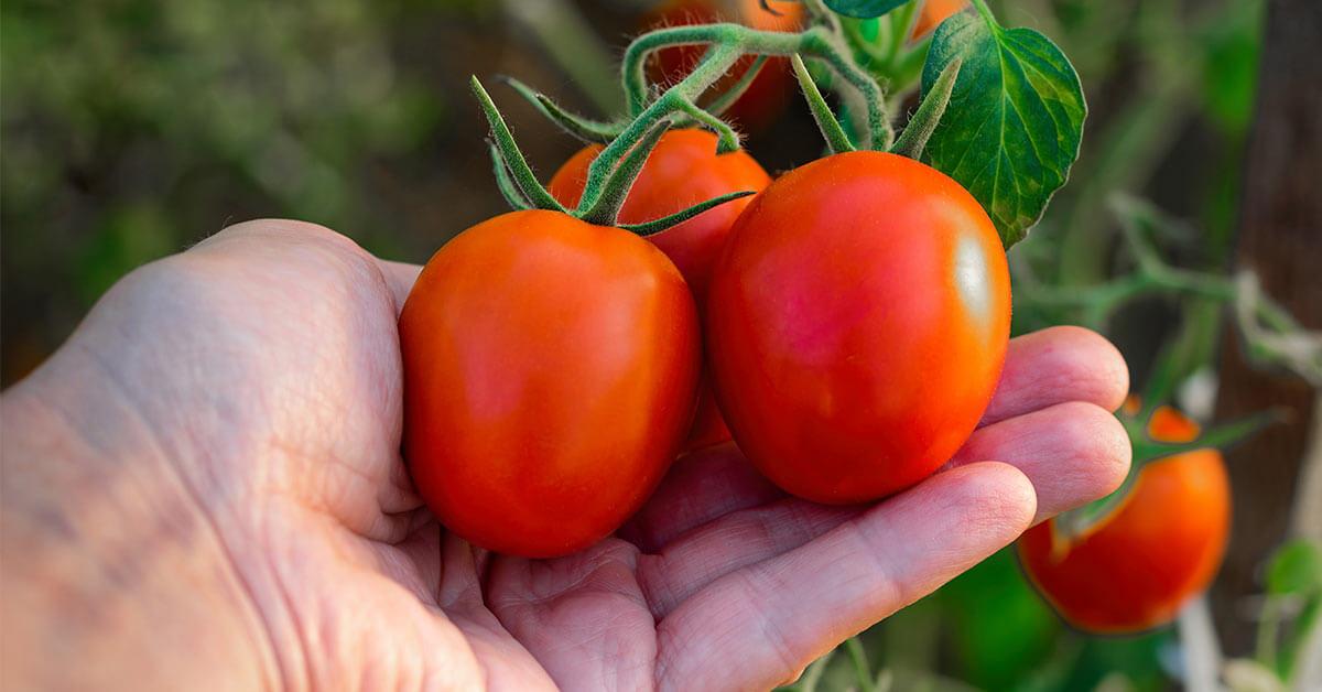 """Featured image for """"Conheça o Tomate Italiano e seus Benefícios"""""""